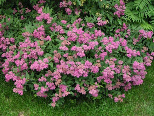 Спирея японская Энтони Ватерер (Spiraea japonica 'Anthony Waterer')