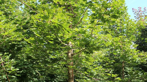 Клен серебристый 'Pyramidale' (Acer saccharinum 'Pyramidale')