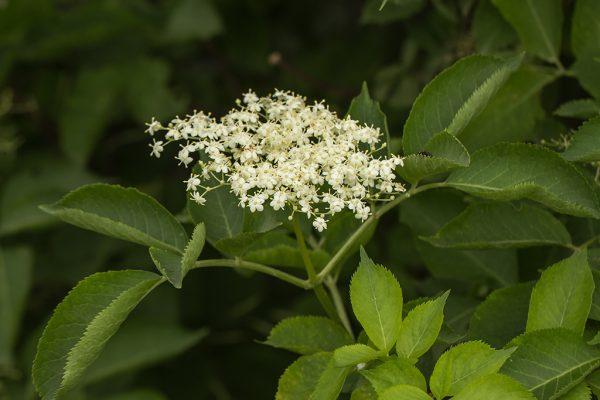 Бузина черная (Sambucus nigra)