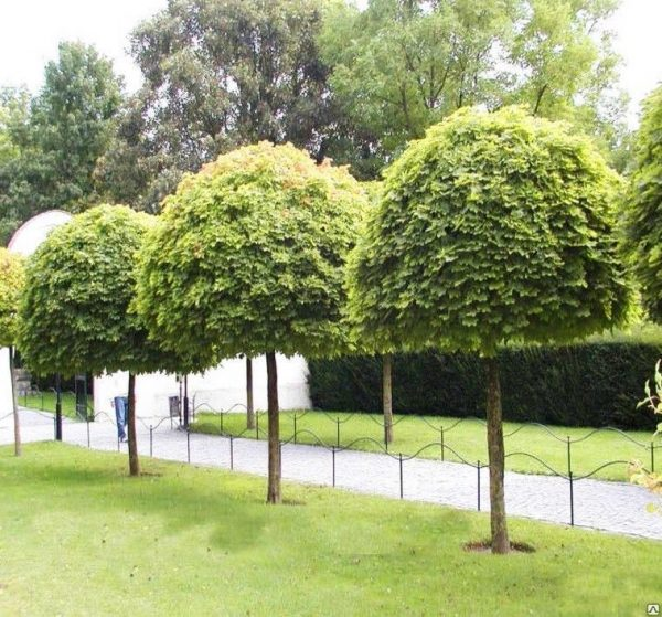 Клен остролистный Глобозум (Acer platanoides'Globosum')