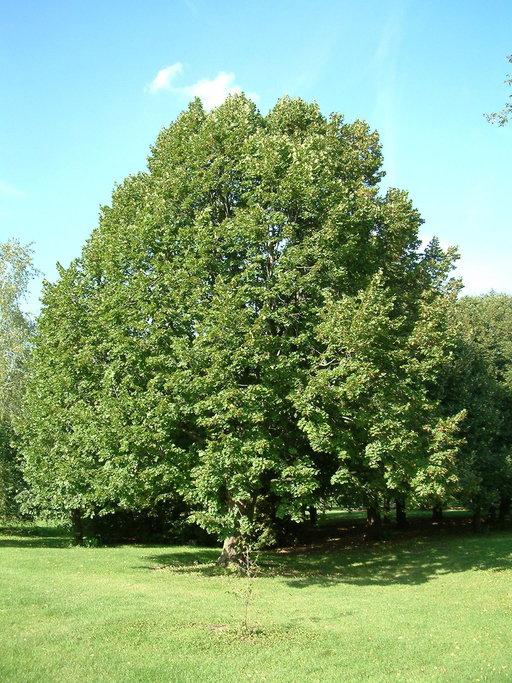 Липа крупнолистная/мелколистная куст (Tilia platyphyllos)