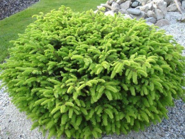 Ель обыкновенная Нидиформис (Picea abies 'Nidiformis')