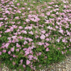 Спирея японская 'Little Princess' (Spirea japonica 'Little Princess')