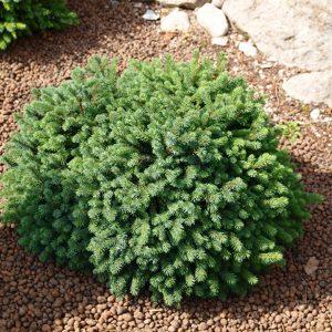 Ель сизая (канадская) Эхиниформис (Picea glauca 'Echiniformis')