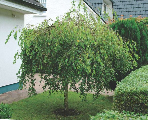 Береза повислая Юнги  (Betula pendula 'Youngii')