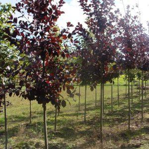 Черемуха виргинская Шуберт (Prunus virginana 'Shubert')