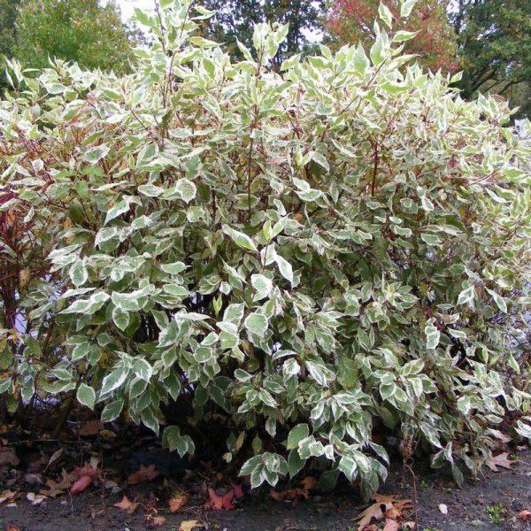 Дерен белый 'Elegantissima' (Cornus alba 'Elegantissima')