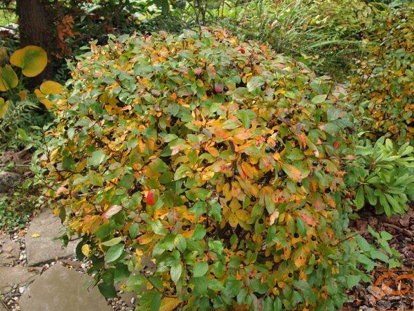 Кизильник блестящий (Cotoneaster lucidus)