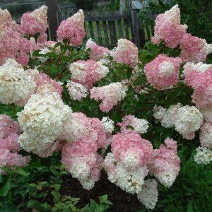 Гортензия метельчатая 'Vanille Fraise' (Hydrangea paniculata 'Vanille Fraise')