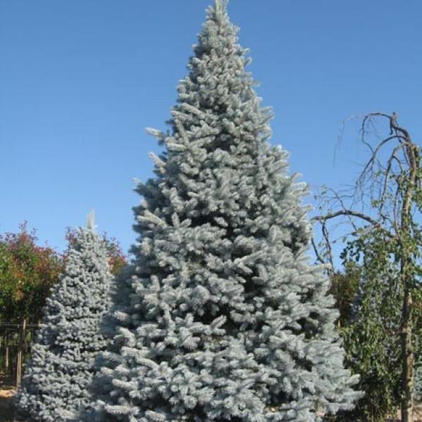 Ель колючая Хупси (Picea pungens 'Hoopsii')