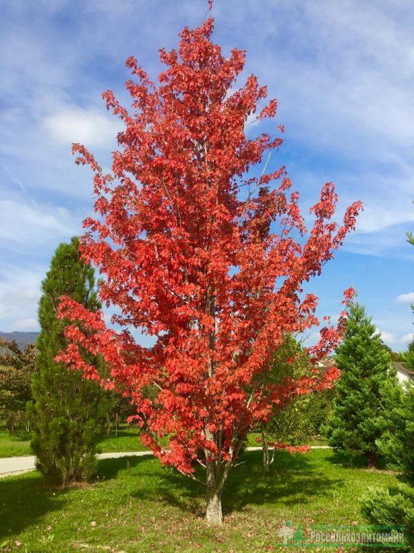 Клен остролистный Отомн Блейз (Acer platanoides 'Autumn Blaze')