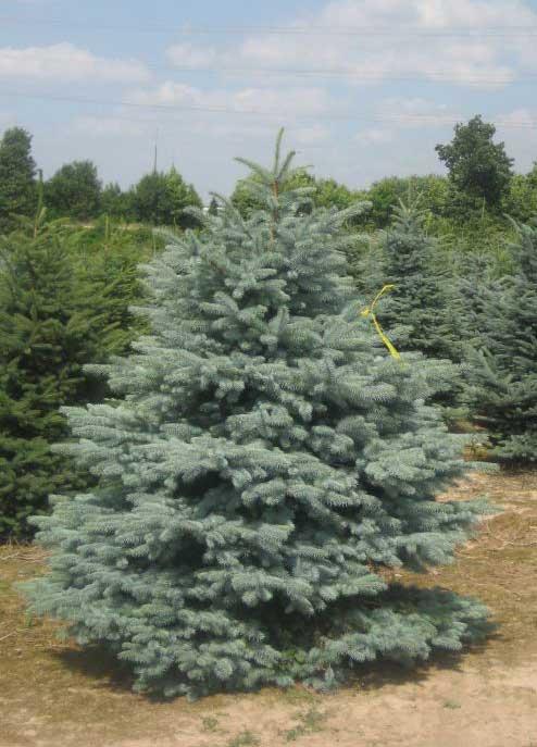 Ель колючая голубая Глаука (Picea pungens 'Glauca)