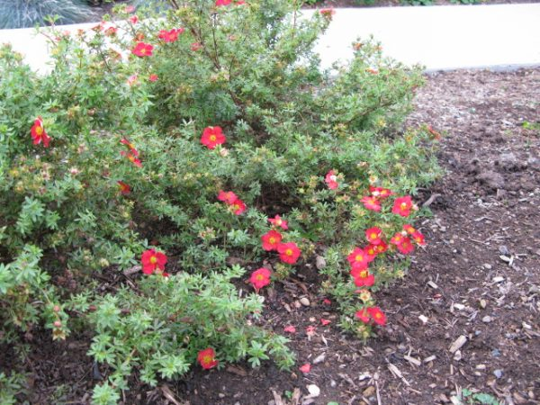 Лапчатка кустарниковая 'Ред Бобин' (Potentilla fruticosa 'Red Robin')