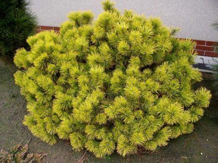 Сосна горная 'Winter Gold' (Pinus mugo 'Winter Gold')