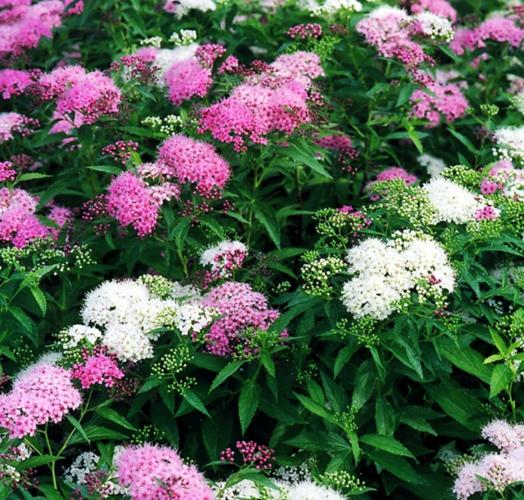 Спирея японская Женпей (Широбана - Shirobana) (Spiraea japonica'Genpei')