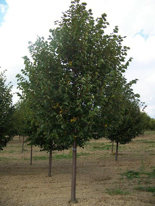 Липа мелколистная Гринспайер, Ранчо, Cordata Greenspire, Rancho