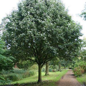 Рябина мучнистая Магнифика, Субментоза (Sorbus aria Magnifica,  Subtomentosa)