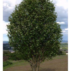 Рябина обыкновенная Фастигата кустовая (Sorbus aucuparia Fastigiata)