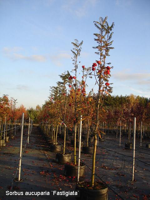Рябина обыкновенная Фастигата (Sorbus aucuparia Fastigiata)