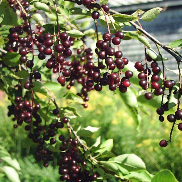 Черемуха  обыкновенная Колората Prunus padus Colorata
