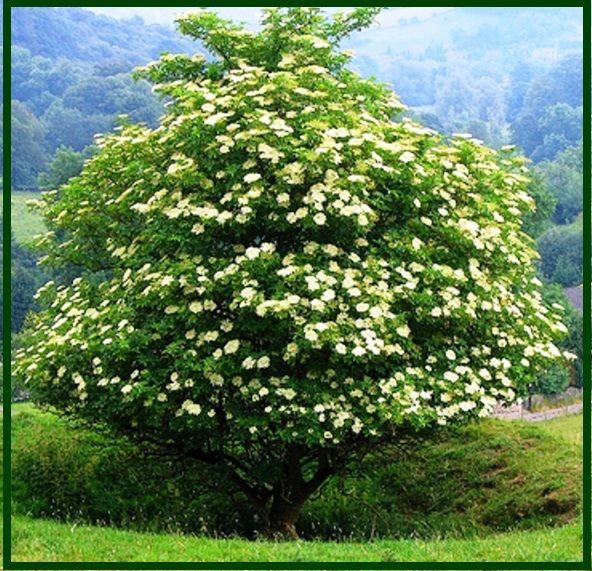 Бузина черная Feh'z (Sambucus nigra Aurea)