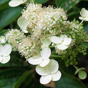 "Гортензия метельчатая ""Прим Вайт"" (Hydrangea paniculata Prim White)"