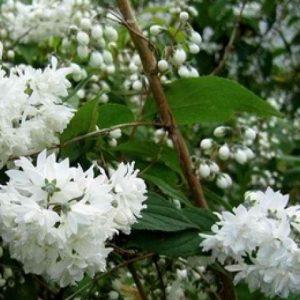 "Дейция шершавая ""Кандидиссима"" (Deutzia scabra Candidissima)"