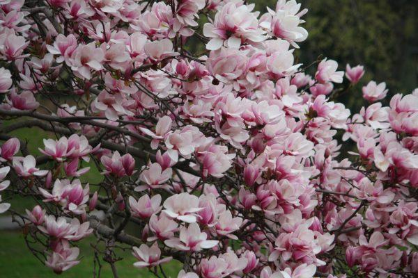 "Магнолия ""Александрина"" (Magnolia x soulangeana Alexandrina)"