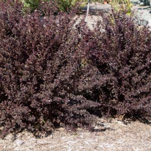 Пузыреплодник калинолистный Physocarpus op. Little Devil