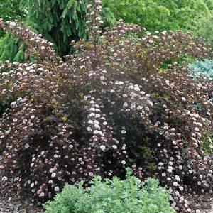 Пузыреплодник калинолистный Physocarpus op. Summer Wine
