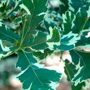 Дуб черешчатый Фастигата Quercus robur Fastigiata