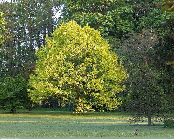 Дуб красный Ауреа Quercus rubra Aurea