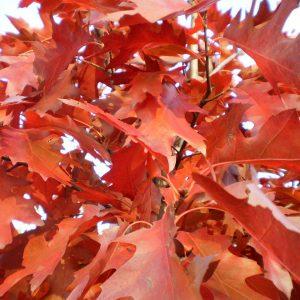 Дуб черешчатый Фастигата Quercus robur Fastigiata 12/14