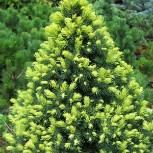 Ель канадская Рэнбоу Энд (Picea glauca Rainbow's End)