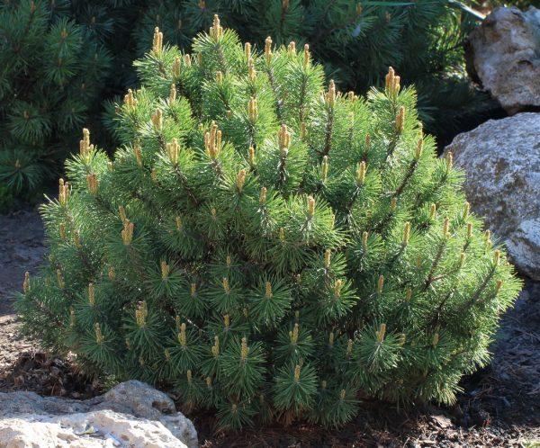 Сосна горная Муго, Пумилио Pinus mugo
