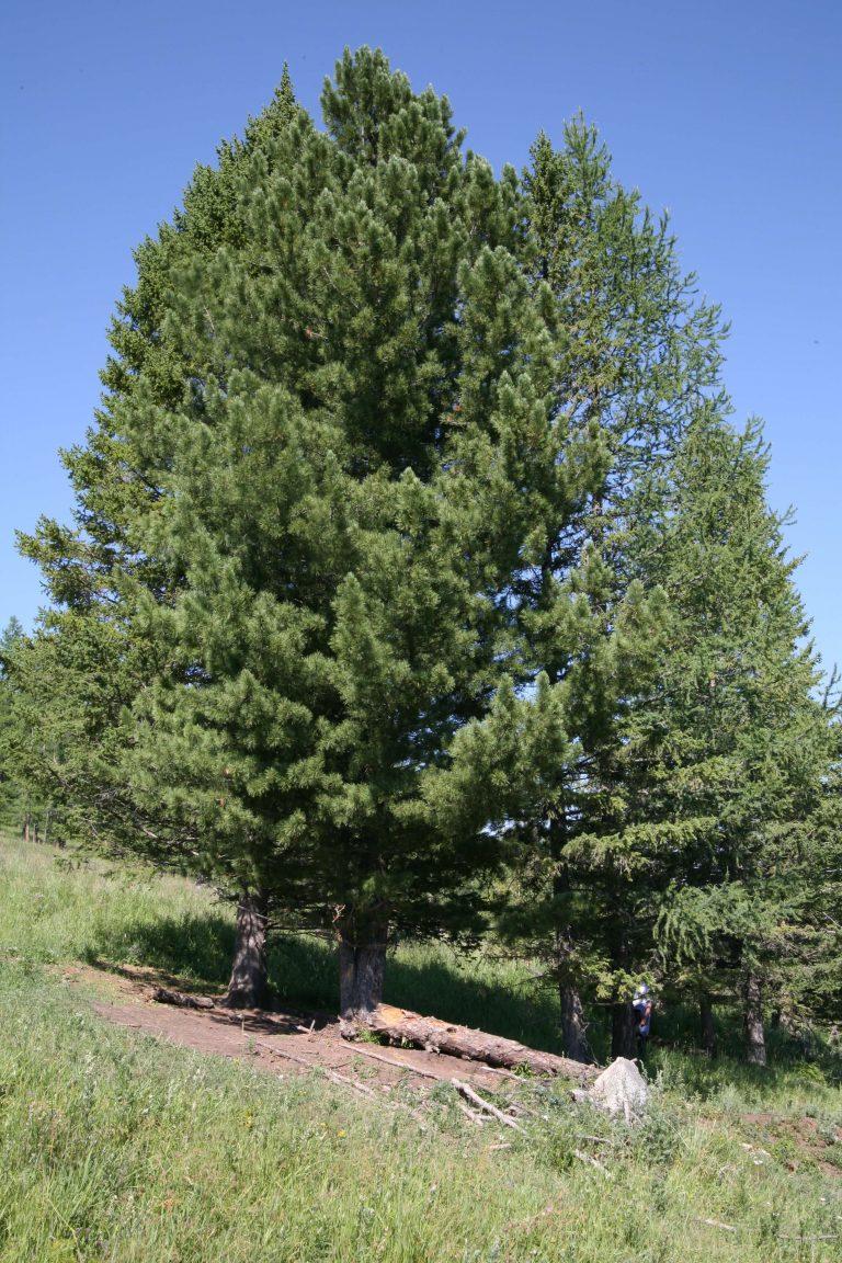 Big Pinus Pictures