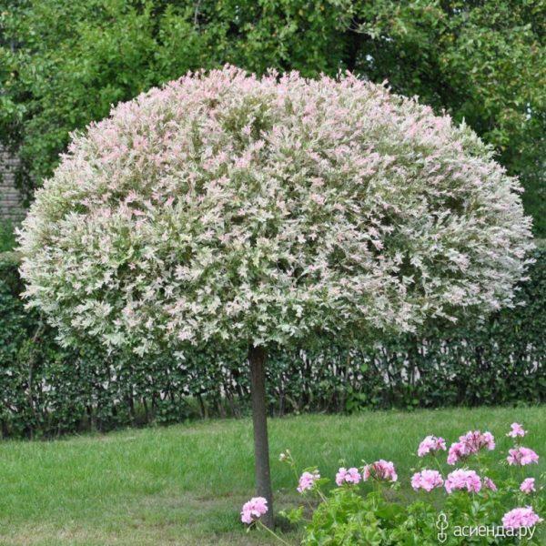 Ива Хакуро-Нишики (Salix integra Hakuro-Nishiki)
