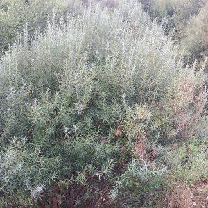 Ива пурпурная Каньон Блю (Salix purpurea Canion Blue)