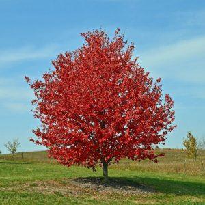 "Клен красный Acer rubrum в ассортименте (""Brandywine"", ""October Glory"", ""Red Sunset"") (""Брендивайн"", ""Октобер Глори"", ""Ред сансет"")"