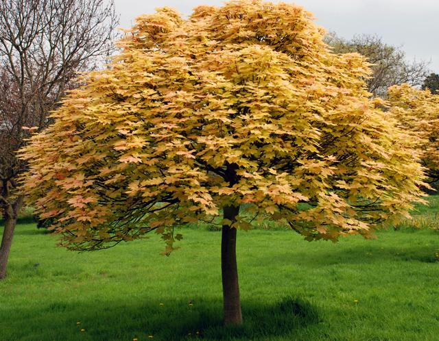 Клен ложноплатановый Бриллиантисимум Acer pseudoplatanus Brilliantissimum