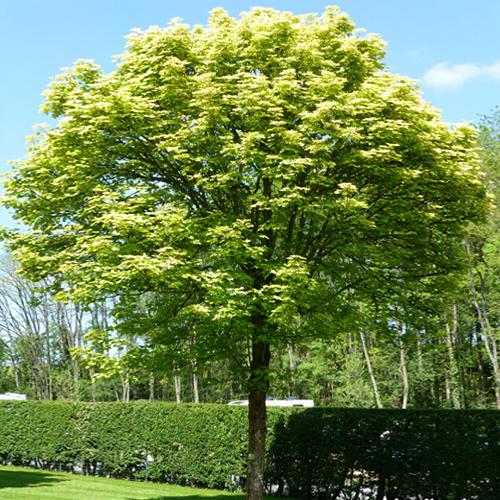 Клен ложноплатановый Леопольди Acer pseudoplatanus Leopoldii