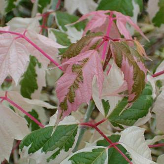 Клен ясенелистный Фламинго Acer negundo Flamingo 6/8
