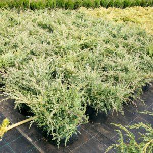 Можжевельник виргинский Хэтс Juniperus virginiana Hetz