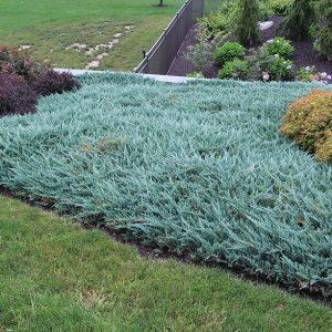 Можжевельник горизонтальный Блю чип Juniperus horizontalis Blue Chip