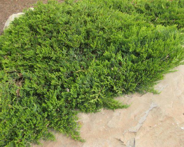 Можжевельник казацкий Броадмур (Juniperus sabina Broadmoor)