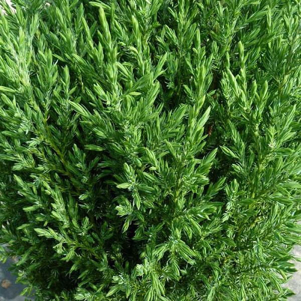 Можжевельник китайский Стрикта Juniperus chinensis Stricta