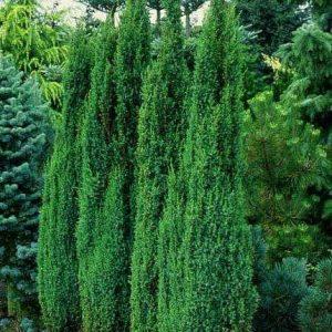 Можжевельник обыкновенный Арнольд Juniperus communis Arnold
