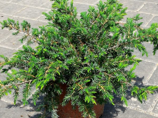 Можжевельник прибрежный Шлягер Juniperus conferta Schlager