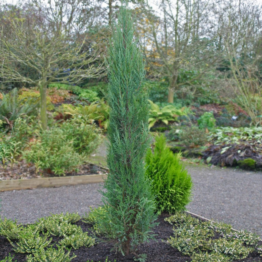 Можжевельник скальный Блю Эрроу, Скайрокет (Juniperus copulorum Blue Arrow, Skyroket)