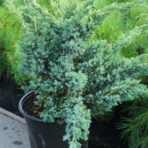 Можжевельник скальный Блю Компакт Juniperus squamata Blue Compact